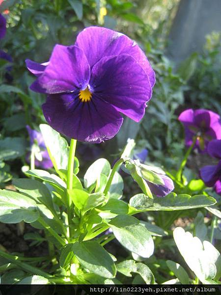 紫花~三色堇.JPG