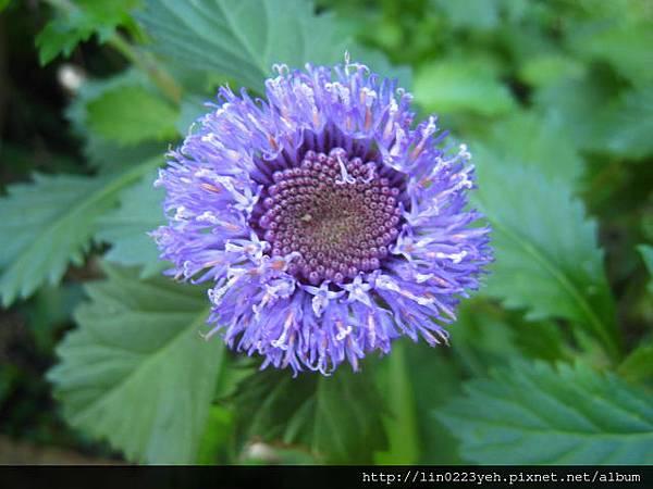 藍冠菊.JPG