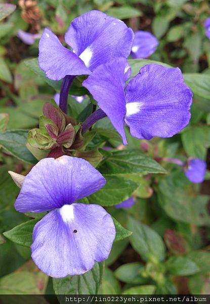 藍鯨花1.png