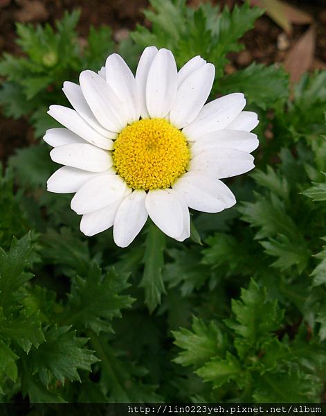 白晶菊.png