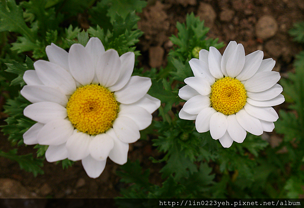 白晶菊2.png