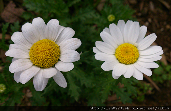 白晶菊1.png