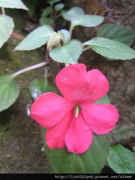 非洲鳳仙花.JPG