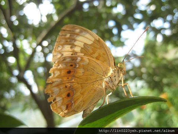 台灣黃斑蛺蝶