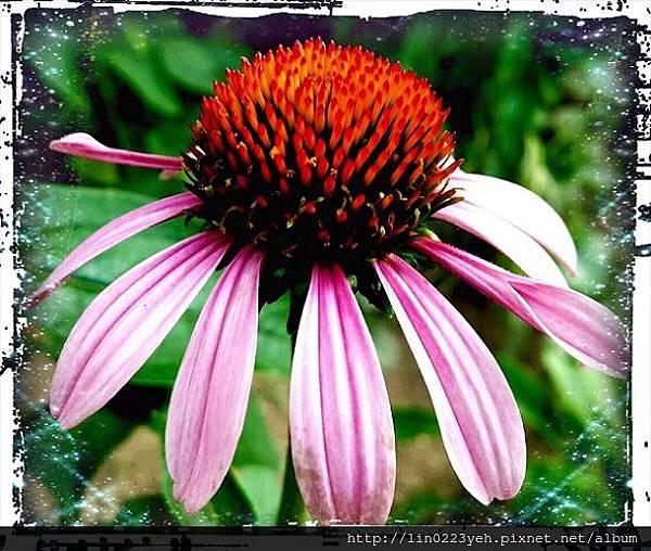 紫錐花(松果菊)