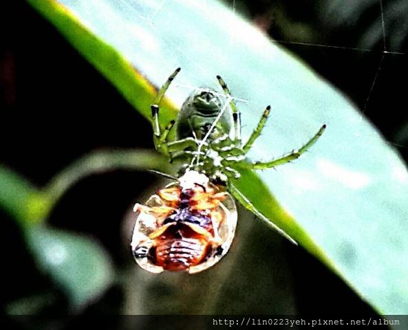 龜金花蟲&蜘蛛