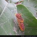 榕透翅毒蛾幼蟲