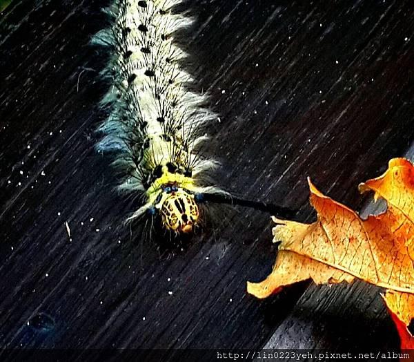 青黃枯葉蛾,雌,終齡幼蟲,黃色具縱向的黑色斑點,側緣具長毛
