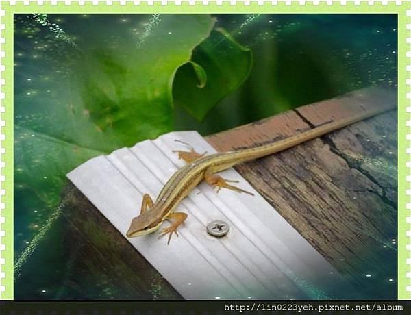 翠斑草蜥 (正蜥科)