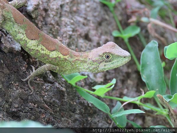 攀木蜥蜴(拍攝地點~坪林)