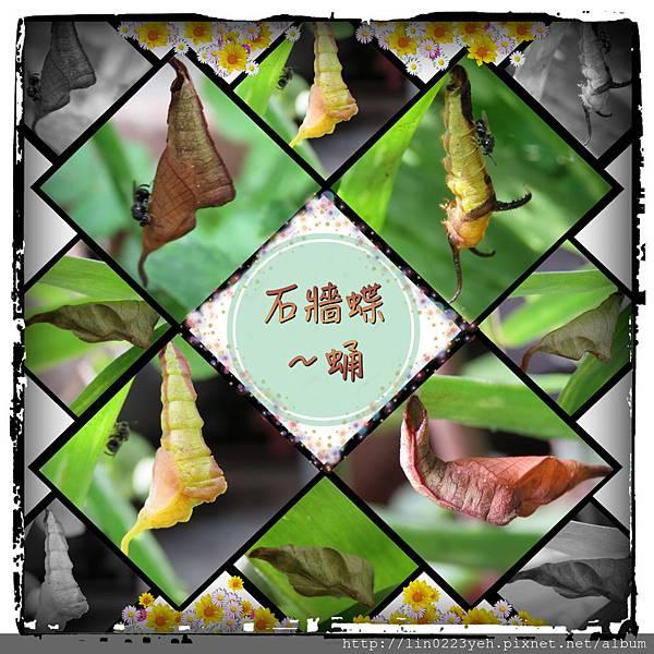 石牆蝶~蛹