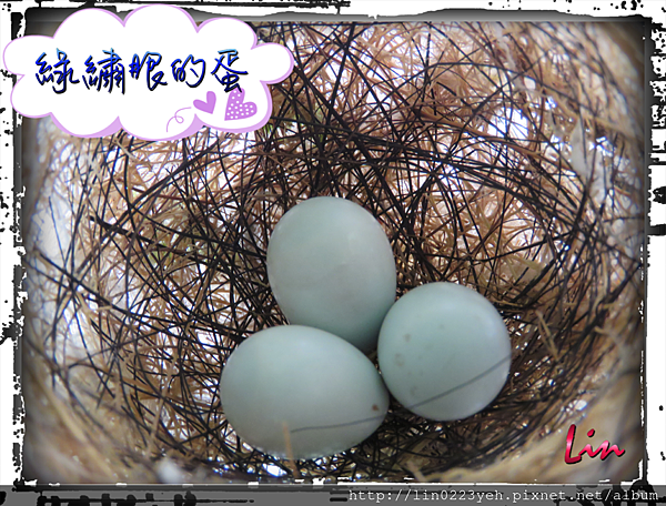 綠繡眼~蛋