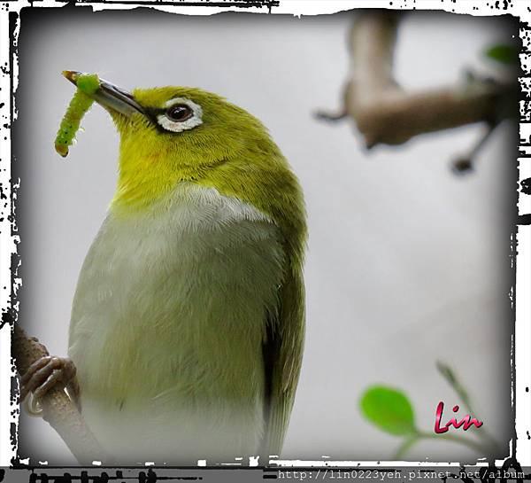 綠繡眼~帶回食物