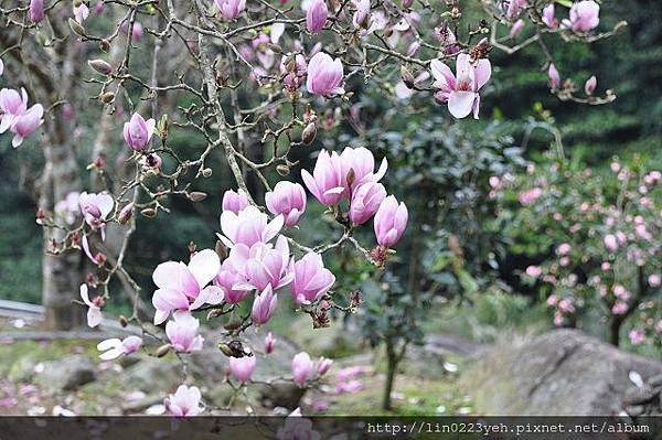 楓樹湖~木蘭花