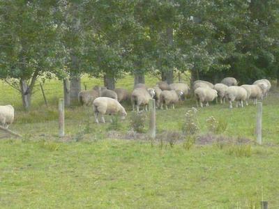 列車風光之成群結隊的羊1.jpg