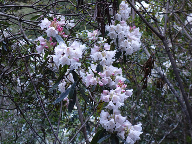 a41杜鵑花.JPG