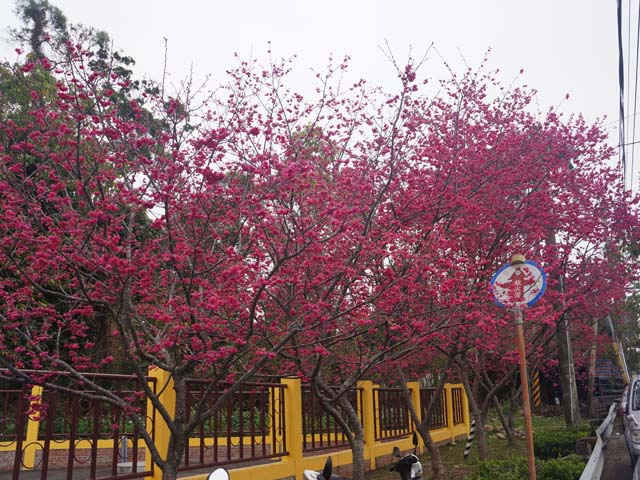 a14側門邊的櫻花.JPG