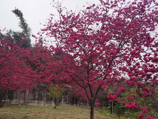 a16櫻花樹開滿櫻花.JPG