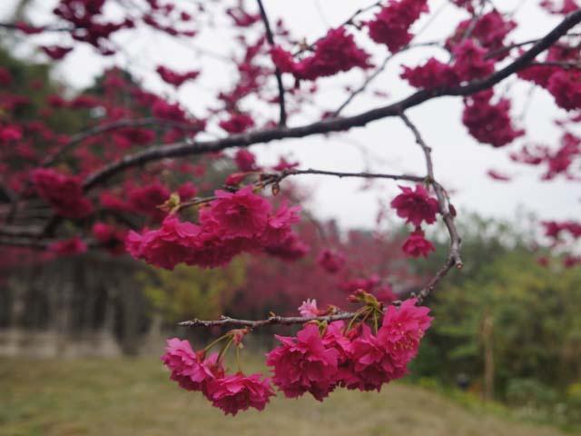 a17櫻花樹開滿櫻花.JPG