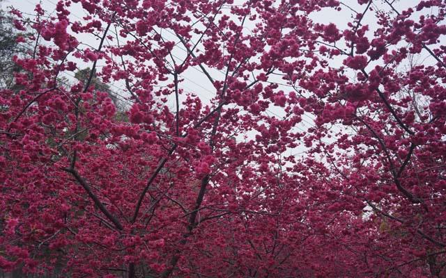 a33櫻花坡上之櫻花.JPG