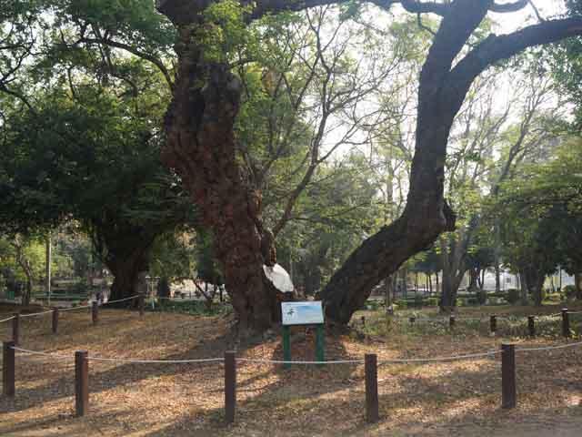 a11公園種植很多金龜樹.JPG