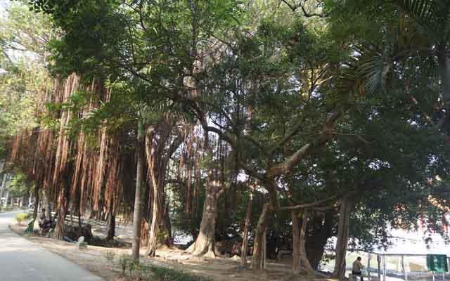 a15大榕樹.JPG