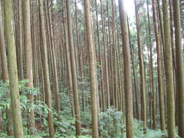 a09筆直的杉木林.JPG