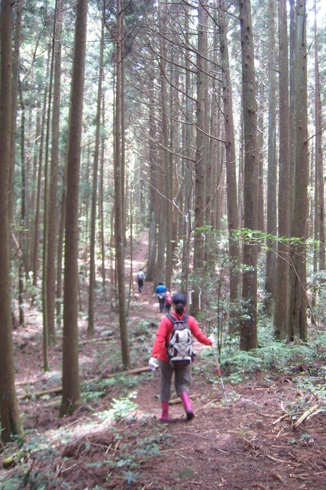 a15筆直的杉木林.JPG
