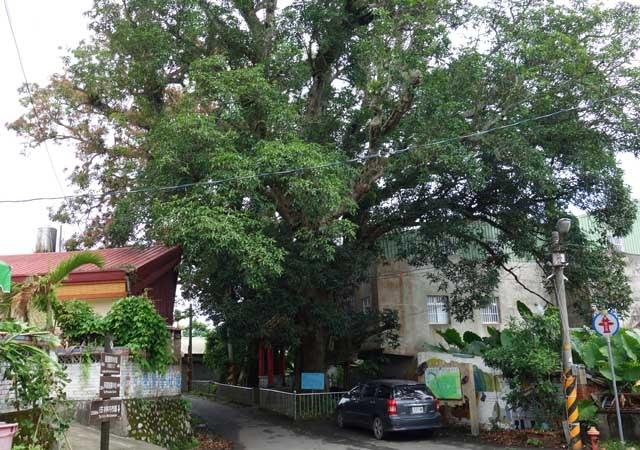 a45百年芒果樹.JPG