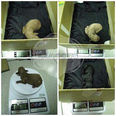 狗寶寶第三天體重