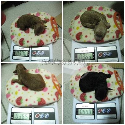 狗寶寶弟四天體重