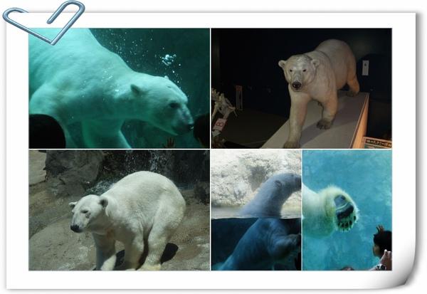 旭山動物園北極熊