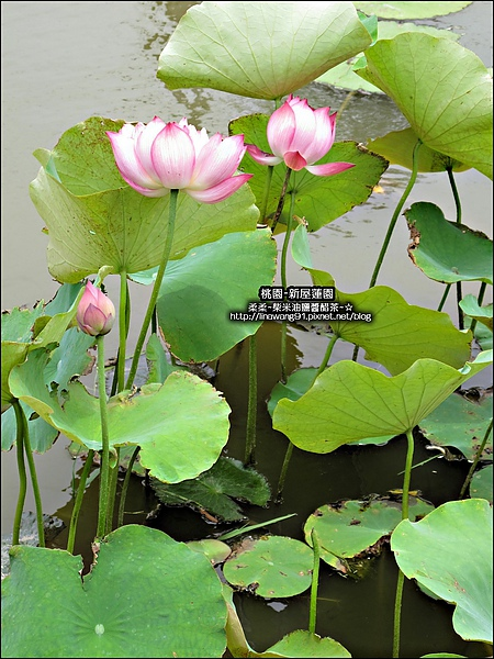 2010-0620-新屋蓮園 (24).jpg