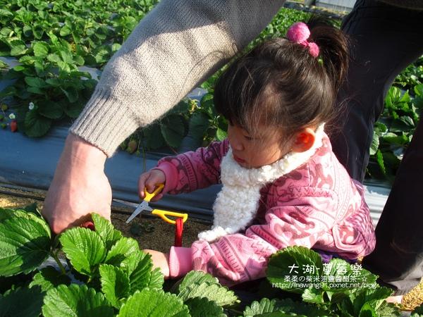 2011-0102-大湖採草莓 (3).jpg
