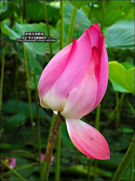 2010-0620-新屋花海農場 (9).jpg