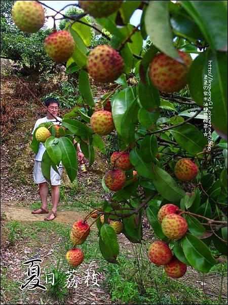 2011-0716-新竹-德聲觀光果園-採荔枝 (5).jpg