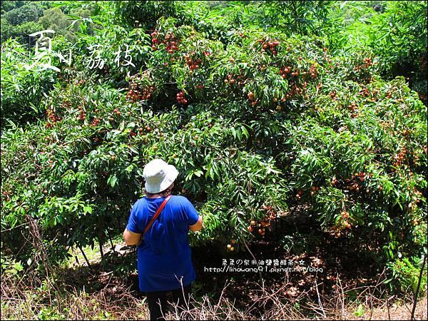 2011-0716-新竹-德聲觀光果園-採荔枝 (10).jpg