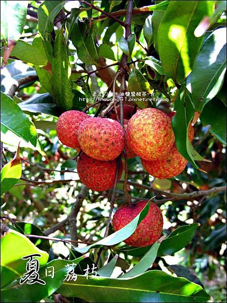 2011-0716-新竹-德聲觀光果園-採荔枝 (14).jpg