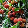 2011-0716-新竹-德聲觀光果園-採荔枝 (18).jpg