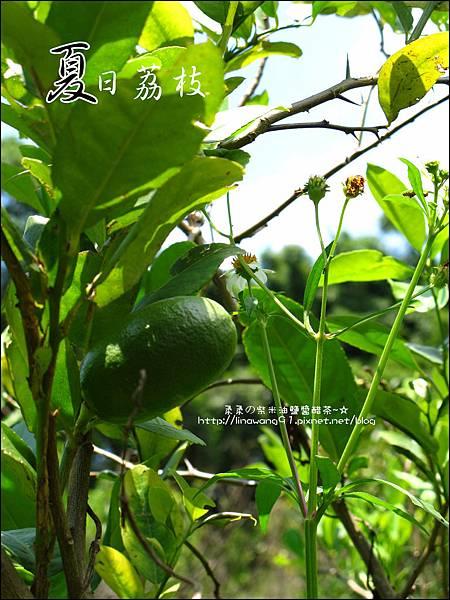 2011-0716-新竹-德聲觀光果園-採荔枝 (22).jpg