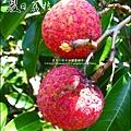 2011-0716-新竹-德聲觀光果園-採荔枝 (40).jpg