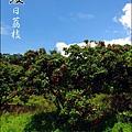 2011-0716-新竹-德聲觀光果園-採荔枝 (42).jpg