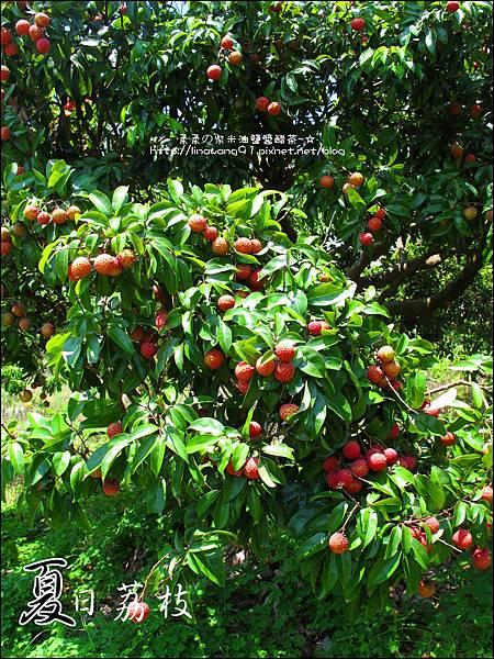 2011-0716-新竹-德聲觀光果園-採荔枝 (43).jpg