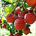 2011-0716-新竹-德聲觀光果園-採荔枝 (44).jpg
