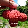 2011-0716-新竹-德聲觀光果園-採荔枝 (47).jpg