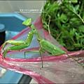 2011-0806-花園裡的螳螂.jpg