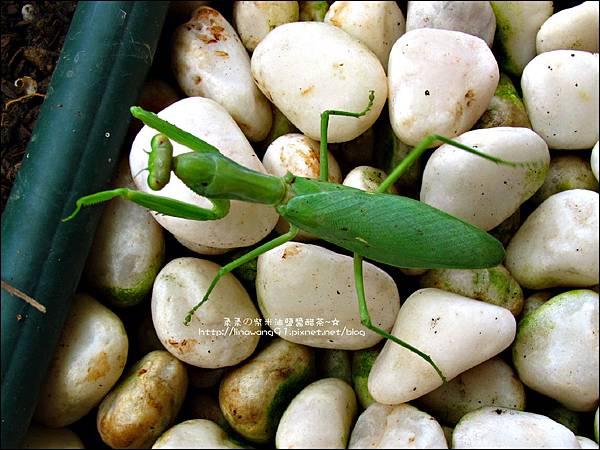 2011-0806-花園裡的螳螂 (1).jpg