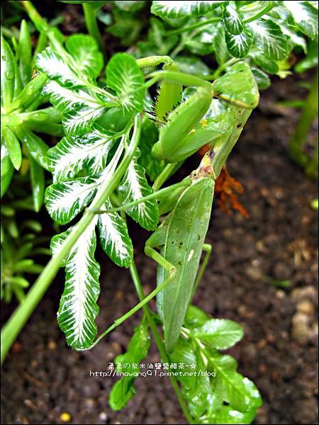 2011-0806-花園裡的螳螂 (4).jpg