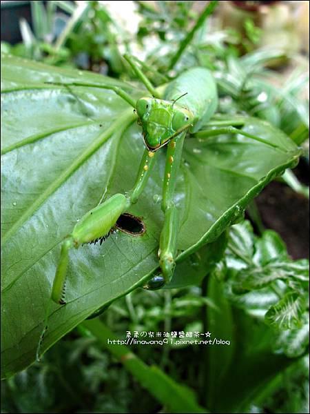 2011-0806-花園裡的螳螂 (7).jpg