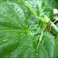 2011-0806-花園裡的螳螂 (9).jpg